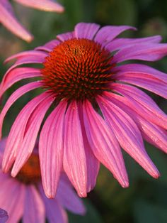 A more compact and contained rose pink coneflower.  PRAIRIE SPLENDOR PURPLE CONEFLOWER.  Good information about this plant. These bloom 2 weeks earlier than most cone flowers!