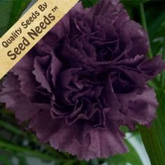 "50 Seeds, Carnation ""King of Blacks"" (Dianthus caryophyllus) Seeds By Seed Needs by Seed Needs: Flowers. $2.65. Easy planting instructions along with a colorful picture printed on each ""Seed Needs"" packet!. Prefers an area of full sunlight. Keep soil moist until germination. Quality Carnation Carnation seeds packaged by ""Seed Needs"". Great choice of flower for a great scent. Carnations attract humming birds, butterflies, & other beneficial insects. This Carnation fl..."