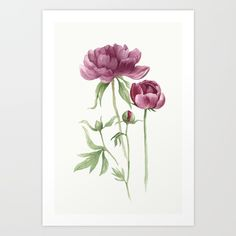 peony, roses, pink, red...