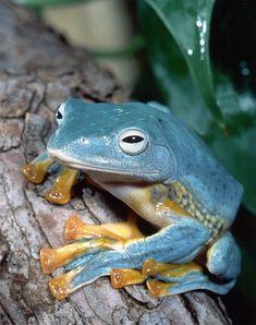 Rhacophorus nigropalmatus Wallace's Flying Frog, Ryan Photographic
