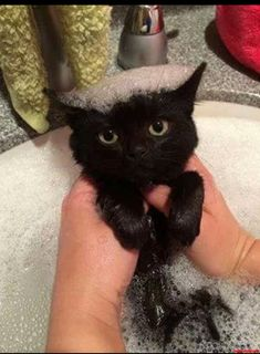 black cat with bubble hair.looks thrilled Cute Cats And Kittens, I Love Cats, Crazy Cats, Cool Cats, Kittens Cutest, Kitty Cats, Ragdoll Kittens, Tabby Cats, Bengal Cats