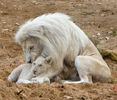 . Photography by © (Jean-Claude Sch). White lion with cup (panthera leo).#whitelions #lions #lioncup #male #king