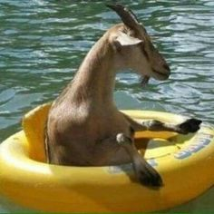 Goats that float
