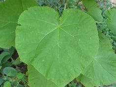 Paulownia Control   http://www.walterreeves.com/gardening-q-and-a/paulownia-princess-tree-identification/