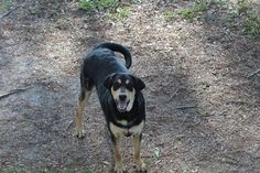 Meet Cooper, an adopted Rottweiler Mix Dog, from SouthBARK Animal Rescue in Pensacola, FL on Petfinder. Learn more about Cooper today. Rottweiler Puppies, Animal 2, Save Animals, Pet Search, Animal Projects, Beautiful Dogs, Beautiful Creatures, Pet Care, Animal Rescue