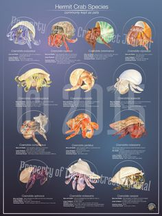 The Crabstreet Journal is so proud to announce the hermit crab species poster. This poster was inspired by member Pam Liberatore. We have illustrated the most common species of Coenobita based on… Hermit Crab Cage, Hermit Crab Homes, Hermit Crab Habitat, Hermit Crab Shells, Hermit Crabs, Crab Species, Coconut Crab, Crab Tattoo, Class Pet