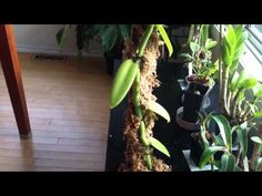 Orchid Care: Growing Vanilla: My care and culture tips in my home and greenhouse. Caring for these Vanilla Orchid plants can be a little challenging, if you . Orchid Plants, Vanilla Plant, Vanilla Orchid, Peony Care, Orchid Care, Growing Orchids, Growing Plants, Orchids Garden, Gardens
