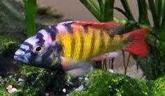 5 x hap sp 44 ( victorian cichlid) Live Tropical Fish at Aquarist Classifieds