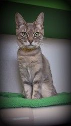 Me-OW! My name is Emma and I am the biggest sweetheart you will ever get the pleasure of knowing. I am a very loving and sophisticated cat who just...
