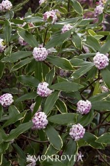 Variegated Winter Daphne | Evergreen shrub prized for beautiful rosy-pink flower buds that open to white, sweetly fragrant flowers in winter and early spring. Green foliage is attractively variegated with a yellow margin. 3'-4' tall and wide. Partial sun.