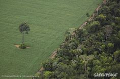 Deforested Area in the Amazon. Single tree in a soy field next to rainforest, south of Santarem and along the road BR163.