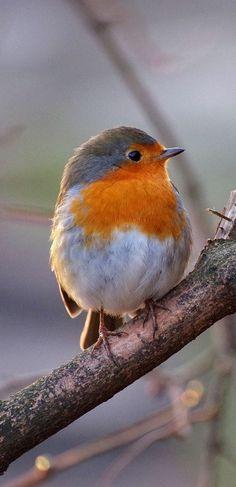 Un robin mignon - # robin   - Zauberhaft - #mignon #Robin #Zauberhaft