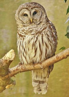 Barred Owl by Traci B on 500px