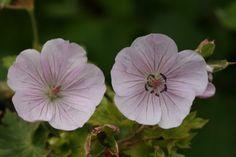 Lilac Ice  Blomstring: juli-okt. Højde: 60 cm Lysforhold: sol/halvskygge