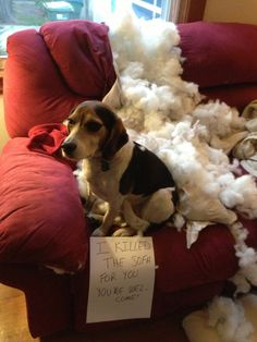 Harvey the dog has destroyed the sofa once and for all.