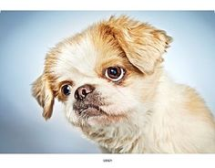 Pictures of Candy a Pekingese for adoption in New York, NY who needs a loving home.