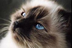 Gatto Birmano o Sacro di Birmania, dettaglio.  #gatto #cats #birmano