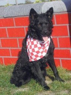 CROATIAN SHEEPDOG PHOTO | Croatianicity: Croatian Dog Breeds-Croatian ... | All Things Croatian