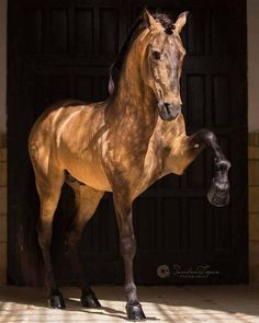 PSL Stallion FUEGO FG owned & trained byClémence Faivre Official © Sandra López Sandra López - Photography All The Pretty Horses, Beautiful Horses, Animals Beautiful, Simply Beautiful, Cute Horses, Horse Love, Horse Photos, Horse Pictures, Andalusian Horse
