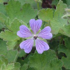Walters Gardens Variety: Geranium 'Philippe Vapelle'