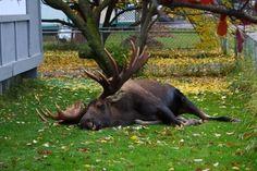 Where does a moose sleep? Wherever he wants!
