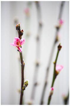 pink cherry blossom | spring flowers . Frühlingsblumen . fleurs printemps | @ annixen |