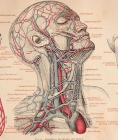 Century Set of two colored Prints of the Veins & Tapes of the human being - 1874 Anatomic Steel Engraving Brain Anatomy, Human Body Anatomy, Human Anatomy And Physiology, Muscle Anatomy, Anatomy Study, Dental Anatomy, Medical Anatomy, Medical Drawings, Medical Art