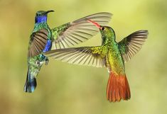 Sparkling Violet-ear and  Rufous-tailed Coronet Hummingbirds from Ecador
