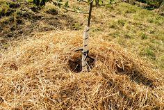Hay - wood chips - mulch - all great ways to keep moisture from evaporating. And - add moss soaked in diluted fertilizer to soil in planting hole to keep water next to those roots! Tree Planting, Trees To Plant, Wood Chip Mulch, Science Fair, Little Dogs, Fruit Trees, Roots, Chips, Gardening