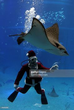 A Japanese diver dressed in a Santa Claus costume swims with a Stingray in the Pacific water tank at the Kaiyukan Aquarium on December 1, 2015 in Osaka, Japan. The Santa Diver Christmas show is held three times a day until Christmas Day to attract visitors.