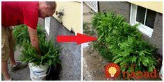 Paprade sú veľmi vďačné na pestovanie. Vyzerajú krásne počas celého roka, prežijú aj v tmavom kúte vášho bytu, alebo okolo domu na miestach, kde vám iné okrasné rastliny nevydržia najmä kvôli nedostatku svetla. Na to, Herbs, Gardening, Plants, Lawn And Garden, Herb, Plant, Planets, Horticulture, Medicinal Plants