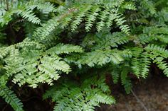 Maidenhair Tree Fern (Didymochlaena truncatula), evergreen fern, 3-4 feet in height, old plants develop a short trunk, deep lustrous green fronds, very graceful appearance, best with consistent moisture, shade to deep shade, a favorite among fern lovers.