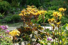 Ligularia dentata 'Desdemona' (Leopard Plant) Herbaceous Perennials, Shade Perennials, Bog Garden, Garden Plants, Types Of Soil, Types Of Plants, Leopard Plant, Yellow Daisies, Buy Plants