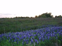 Volunteer Day at Kachina Prairie in Ennis, Texas - April 20th, 2013. This beautiful native prairie is open to the public year round and is especially wonderful in the spring. Wildflowers and bluebonnets abound!