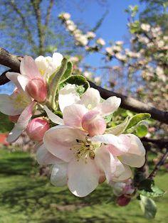 Apple blossum seen here: Sofias Bod: maj 2012