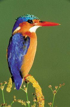 The most beautiful bird! My favourite.. the Malachite Kingfisher