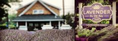 Lavender Farm on the North Fork of NY - Lavender FieldsLavender By The Bay – North Fork of New York- Selling Lavender Gifts & Products | New...