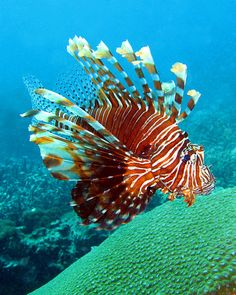 A Lionfish is any of several species of venomous marine fish in the genera Pterois, Parapterois, Brachypterois, Ebosia or Dendrochirus, of the family Scorpaenidae. The lionfish is also known as the Turkey Fish, Dragon Fish, Scorpion or Fire Fish. The Tips on scuba equipment at www.divingtshirts.net