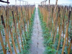 Tehnologie de cultura a tomatelor sau cultivarea rosiilor Vineyard, Country Roads, Gardens, Modern, Outdoor, Plant, Outdoors, Trendy Tree, Vine Yard