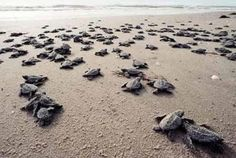 Sea Turtle Babies on Jekyll Island.  Photo courtesy of www.JekyllIsland.com