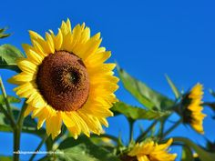 Sunflowers are one of my favorite flowers to plant in our garden. Here are 5 tips to help you grow sunflowers this summer.