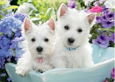 Just Westies Puzzle, from Dogstuff.com. Two sweet-faced West Highland terrier puppies, one with a pink collar, the other blue, pose in the garden. Photography by Greg Cuddiford. Proudly made in the U.S.A., the 1000 precision cut, fully-interlocking pieces are poly-bagged for protection inside an attractive 12 x 10� box...