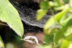THE SPIDER WED. Spider webs are formed from spider silk that these arthropods biosynthesize and secrete through their spinning glands in the back of the abdomen. By O. Munuera - 2ºESO A