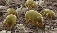 Los ácaros son microorganismos que se encuentran en todos los ámbitos terrestres, tanto en la tierra como en el mar. Son objeto de muchos estudios ya que se conocen 50.000 especies y se pronostican que existen