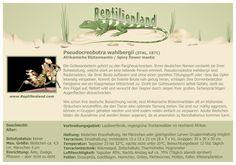 Afrikanische Blütenmantis - kompakte Übersicht der Haltungsbedingungen. Unsere Karteikarten können auch zum Beschriften von Terrarien verwendet werden. Ausführliche Haltungsinformationen zu verschiedenen Mantiden und Phasmiden gibt es auf www.reptilienland.com