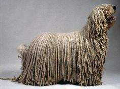 """Here's another for our cool big dog breeds the Komodor Or """"Mop Dog"""". The Komondor, Canis familiaris pastoralis villosus hungaricus, in Hungarian the Fluffy Dog Breeds, Big Fluffy Dogs, Big Dog Breeds, Big Dogs, Dogs And Puppies, Doggies, Mop Dog, Dog Cat, Chien Komondor"""