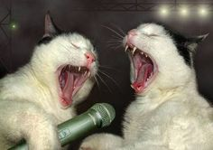 Funny-Singing-Cats.jpg 478×338 pixels Kitten Videos, Funny Cats, Funny Animals, Cute Cats, Ferret, Crazy Cats, Funny Cat Compilation, Cats And Kittens, Beautiful Cats