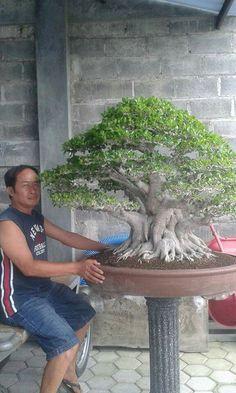 icu ~ Not bad,sport. Bonsai Ficus, Bonsai Wire, Bonsai Plants, Bonsai Trees, Garden Terrarium, Bonsai Garden, Vertikal Garden, Bonsai Forest, Plantas Bonsai