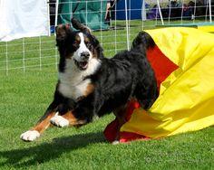 Bernese Mountain Dog | Seattle Kennel Club