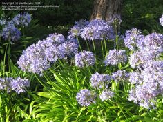 Full size picture of Lily of the Nile, African Lily (Agapanthus africanus)